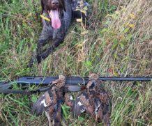 Собака снова утянула на охоту….